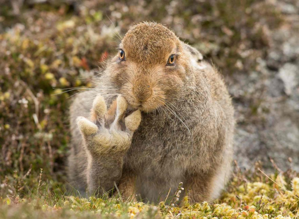 Andy Howard spent more than five hours with this mountain hare, which appears to raise its paw to say hello in the Cairngorms, Scotland. Photograph: Andy Howard/Barcroft Images